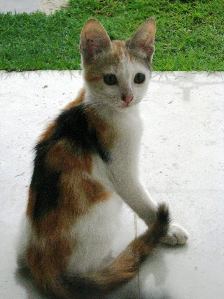 calico kittens for adoption related keywords amp suggestions