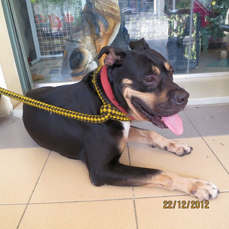 Baby The Boxer Rottweiler Cross For Adoption Adopted