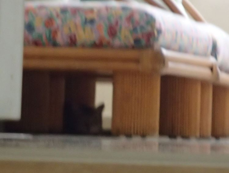 tiger under sofa