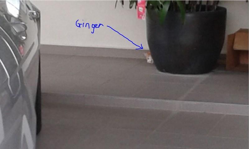 mini-ginger