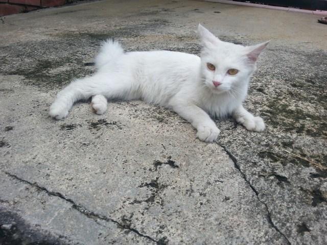 mini-whitecat1