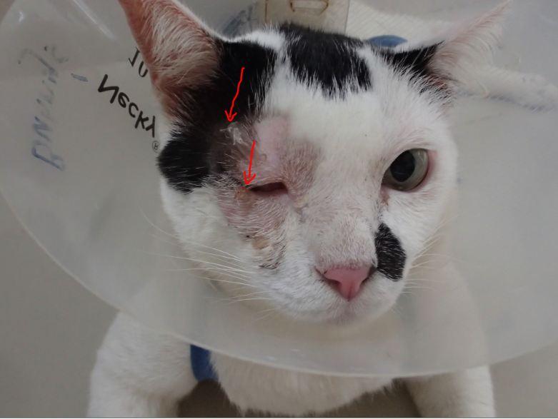 cow's eye surgery
